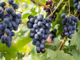 Грузия В традициях грузинских вин