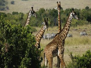 Кения Кения: Магия дикой природы с отдыхом на пляже Индийского океана
